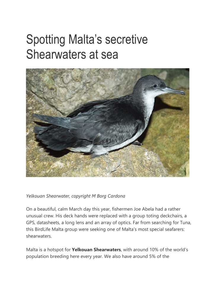 Spotting Malta's Shearwaters-1